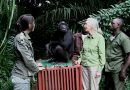 「ジェーンさん、今までありがとう」瀕死のところ保護されたチンパンジーが森へ帰る日